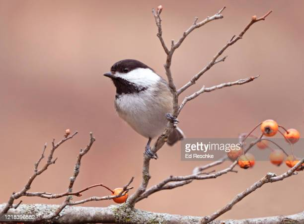black-capped chickadee (parus atricapillus), a friendly and non-wary visitor to bird feeders - ed reschke photography stock pictures, royalty-free photos & images