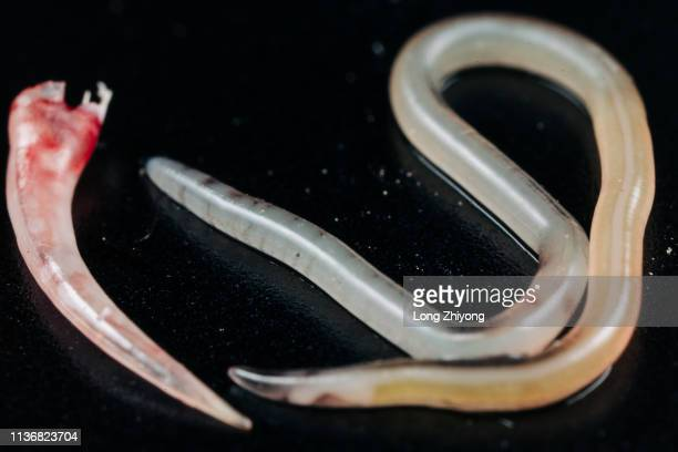 a gel-like parasite near a snake long teeth - worm stock photos and pictures
