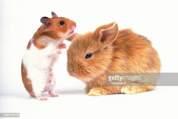 a Golden Hamster and a Rabbit, Side View
