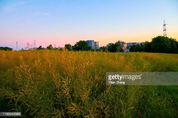 a golden rape field in the sunset glow - heidelberg stock-fotos und bilder