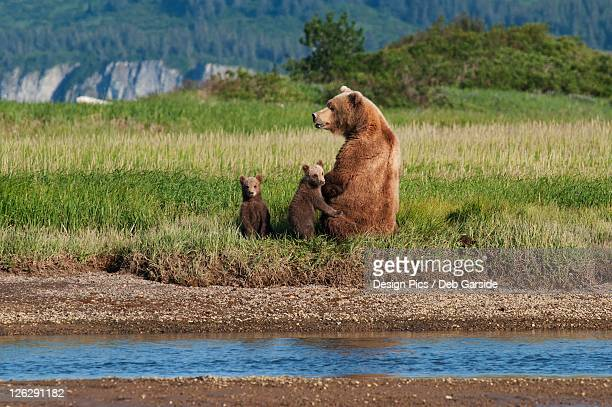 a grizzly bear (ursus arctos horribilis) and cubs next to the river