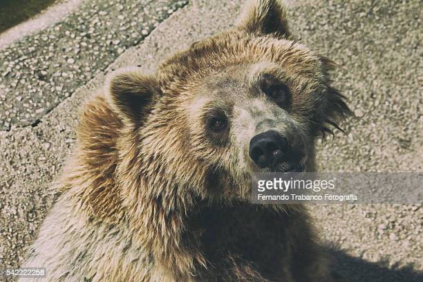a grizzly bear portrait