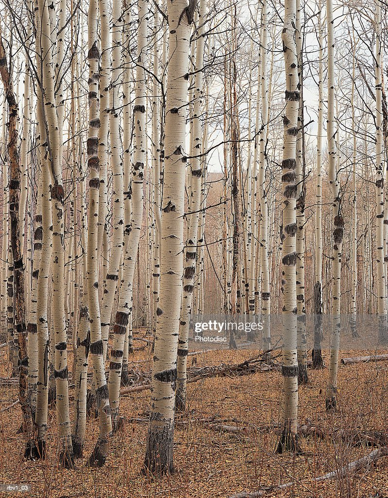 a group of birch or aspen trees that have lost their leaves due to fall under a cloudy sky : Foto de stock