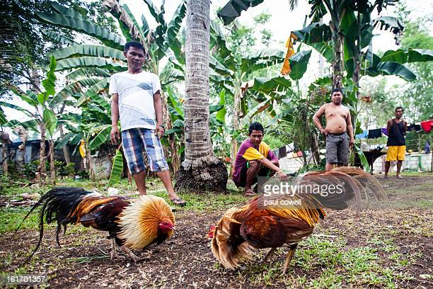 CONTENT] a group of local filippino guys watch on as they assess the quality of the cocks that will be fighting later in the day traditional cock...