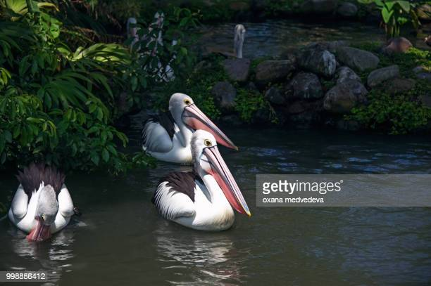 a group of pelicans swims in the pond, surrounded by grass