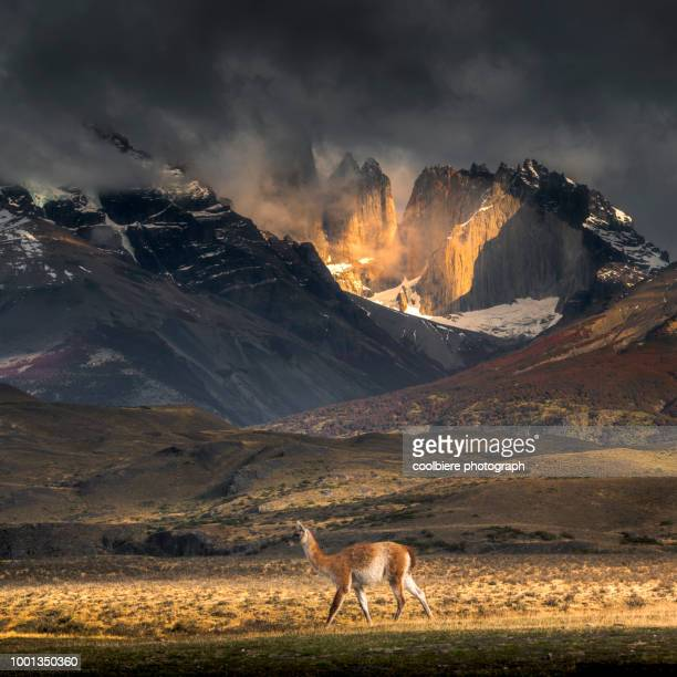a guanaco walking infront of mountain in torres del paine - torres del paine national park stock photos and pictures