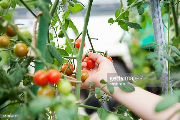 a hand of a girl harvesting a tomato in the farm