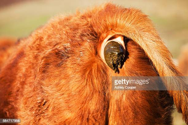 a Highland Cow having a poo on the Strathaird Peninsular, Isle of skye, Scotland, UK.