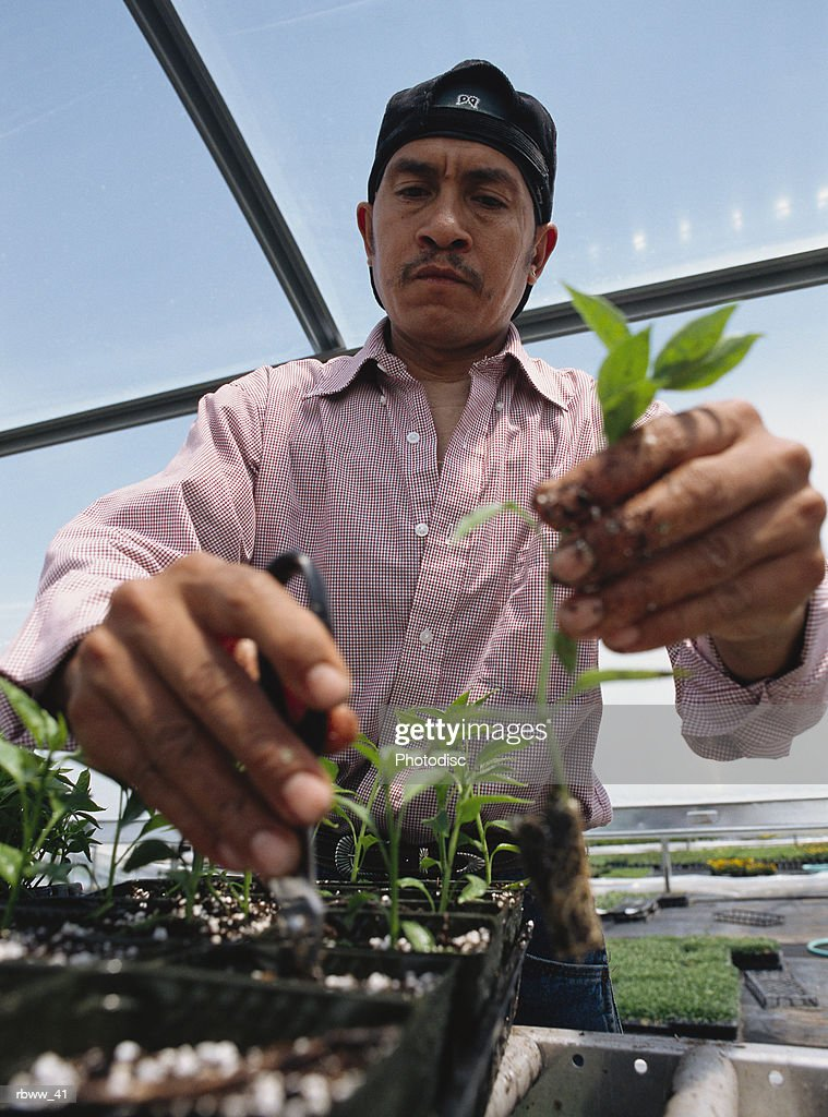 a hispanic man inspects and replants seedlings in a greenhouse : Foto de stock