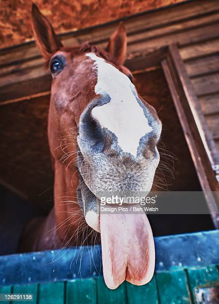 a horse with it's tongue sticking out - funny horses stock pictures, royalty-free photos & images