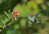 hummingbird flight getting nectar from flower
