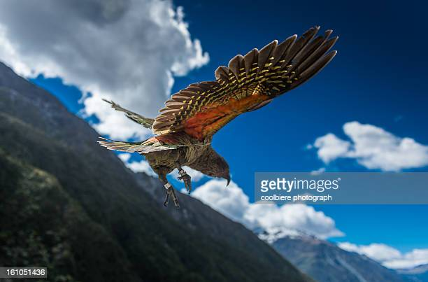 a Kea parrot flying above mountains