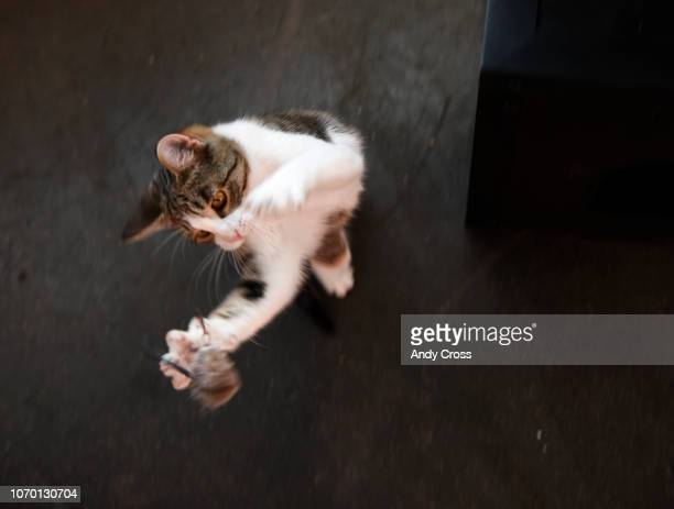 A kitten plays with a toy inside the Cat Cafe at the 1st annual Snowcats Cat Convention at the EXDO Event Center December 08, 2018. Denver Cat...