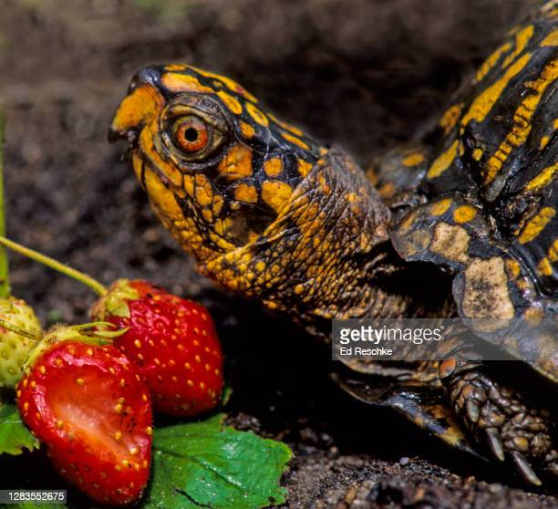 eastern box turtle (terrapene carolina carolina), a land (terrestrial) turtle eating strawberries - box turtle stock pictures, royalty-free photos & images