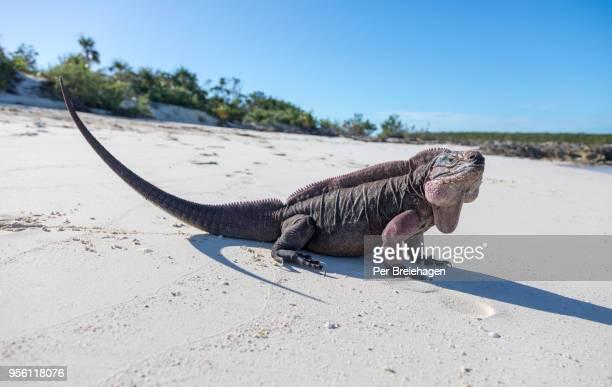 a large allen's cay exuma iguana on the beach_exumas_bahamas - iguana foto e immagini stock