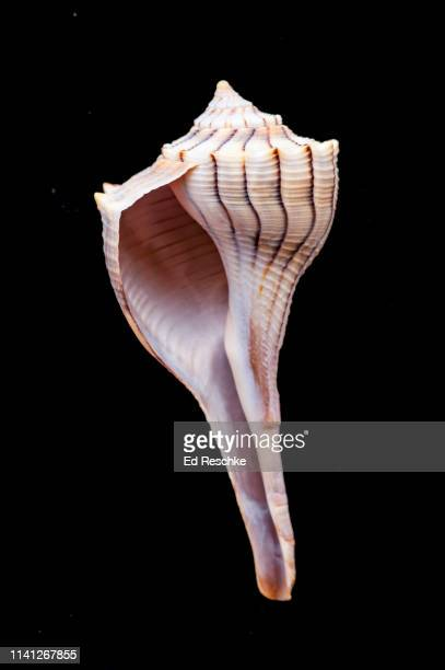 lightning whelk (busycon sinistrum) a large marine snail or gastropod - ed reschke photography stock photos and pictures