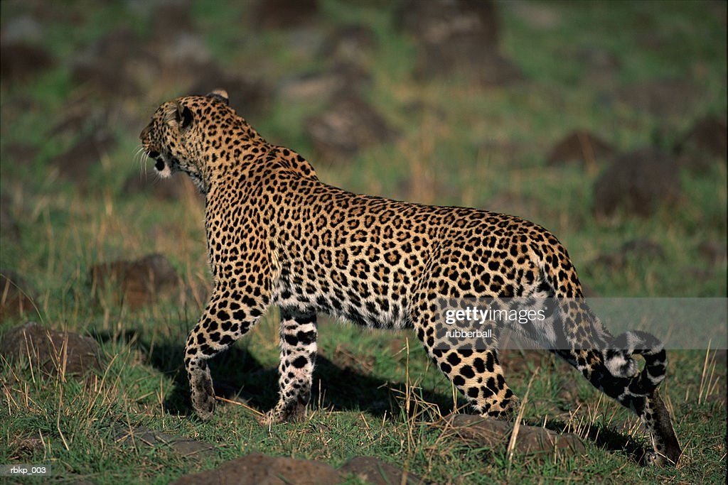 a leopard is walking through a field of short green grass looking as if he is stalking or watching other animals in the distance : Stockfoto