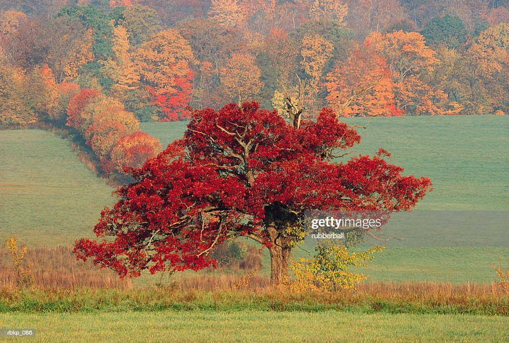 a line of trees in deep autumn color separate two green pastures with a forest of trees in full fall color in the background : Stockfoto