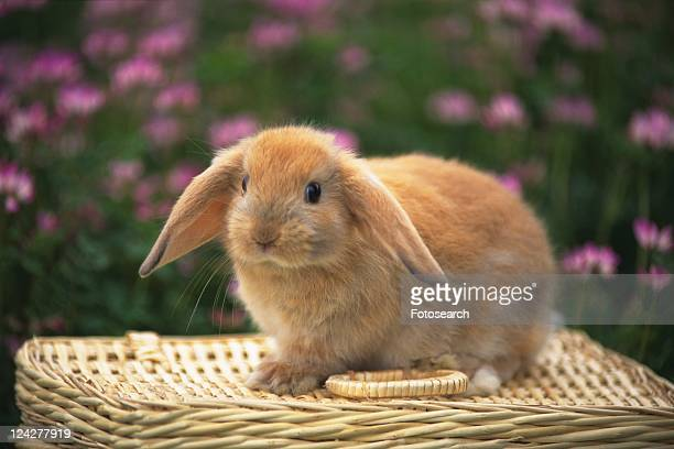 a Lop Ear Rabbit Sitting on a Basket, Looking at Camera, Side View, Surrounded by a Pink-colored Flower Field, Differential Focus