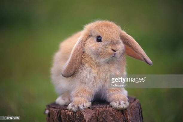 a Lop Ear Rabbit Standing on a Tree Trunk, Looking at Camera, Front View, Differential Focus