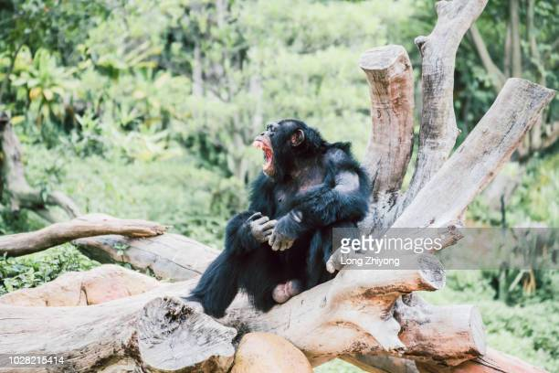 a male chimpanzee is sitting on the rock