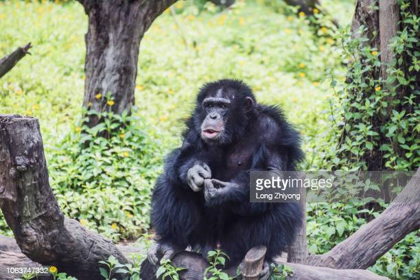 a male chimpanzee - male animal stock pictures, royalty-free photos & images