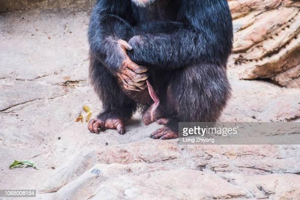 a male chimpanzee