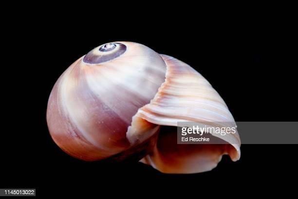 shark's eye (neventa duplicata) a marine snail or gastropod - ed reschke photography stock photos and pictures