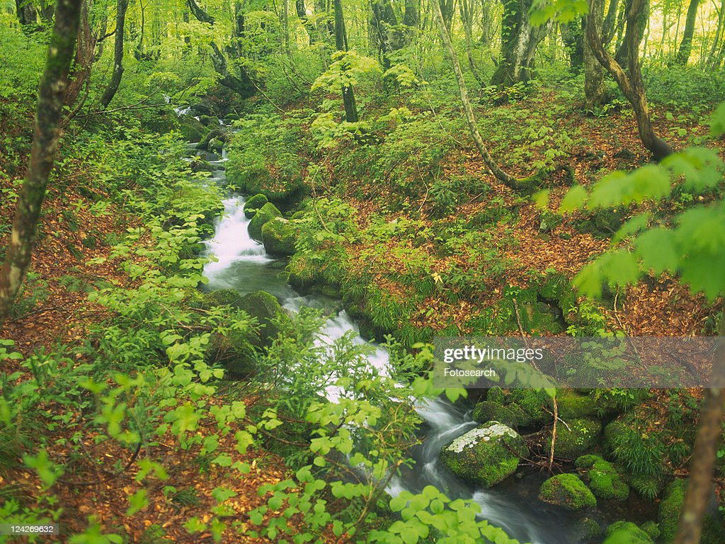 A Mountain Stream In The Middle Of A Forest With Beech Trees And ...