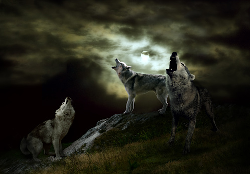 a pack of wolves on a dark night 851479906