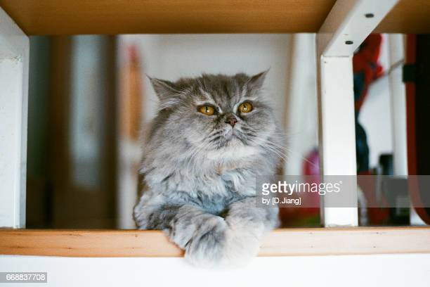 a persian cat sitting on the stairs, and look into the right above. - persian cat stock pictures, royalty-free photos & images