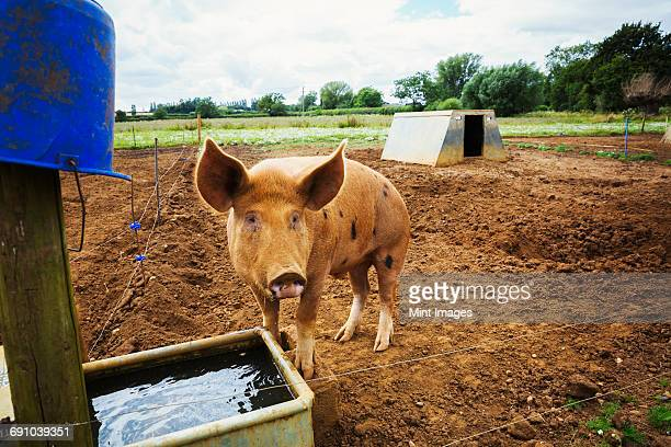 a pig stood in a pen by a trough. - pigs trough stock pictures, royalty-free photos & images