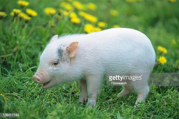 a Piglet Walking On Grass, Side View, Differential Focus