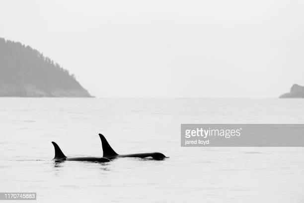 a pod of orcas in kenai fjords national park - golfo do alasca imagens e fotografias de stock
