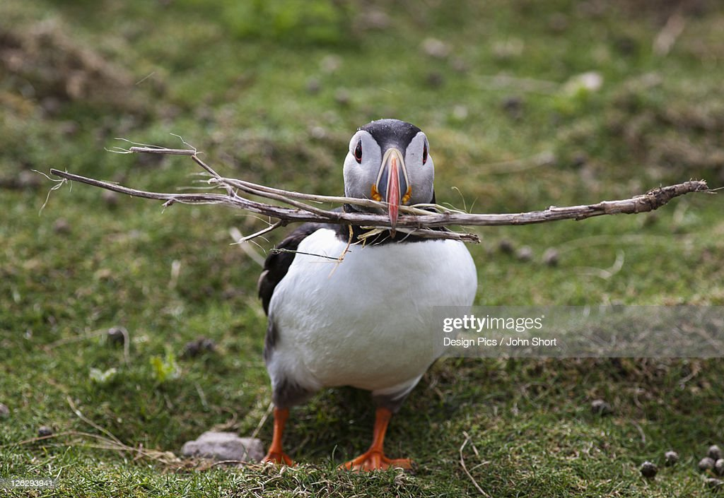 a puffin carrying tree branches in it's mouth : Stock Photo
