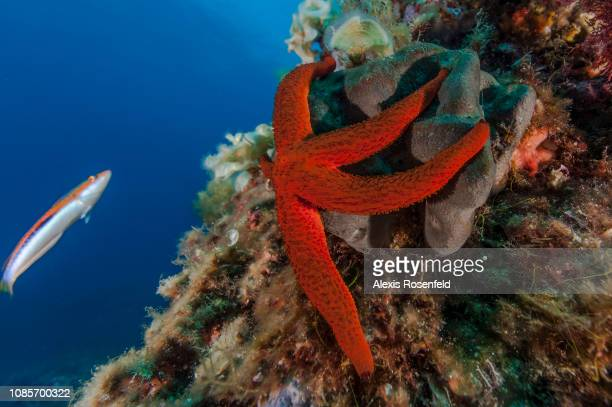 a red starfish under the gaze of a rainbow wrasse on august 18 2016 in Les Embiez France The Mediterranean represents a hotspot of marine...