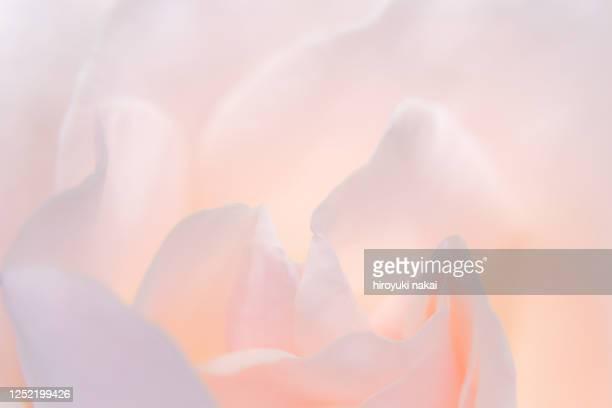 a rose flower - 花びら ストックフォトと画像