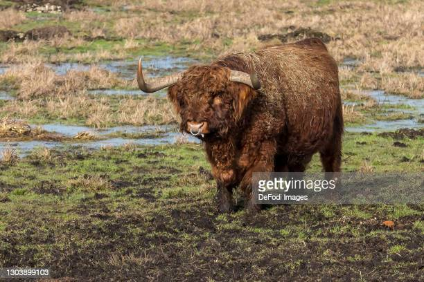 A Scottish highland cattle on a meadow in the Gundelfinger Moos on February 22, 2021 in Guenzburg, Germany.