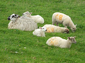 https://www.istockphoto.com/photo/a-sheep-and-young-lambs-in-a-group-in-a-field-in-yorkshire-gm1021130056-274269364