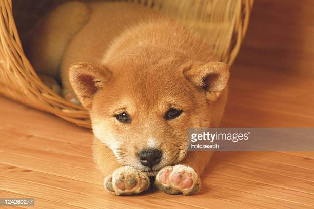 a Shiba Inu Lying in a Wooden Basket, Looking at Camera, High Angle View
