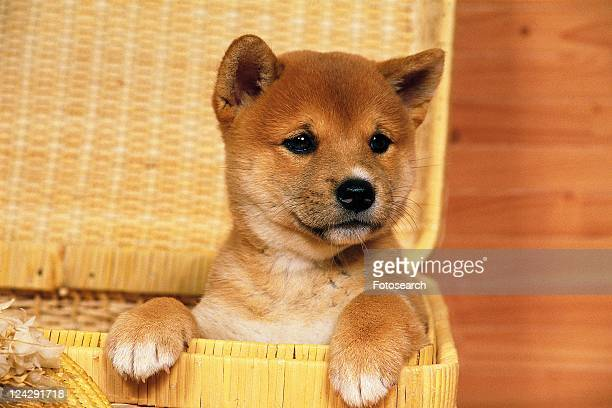 a Shiba Inu Sitting in a Wooden Basket Looking Sideways, Front View