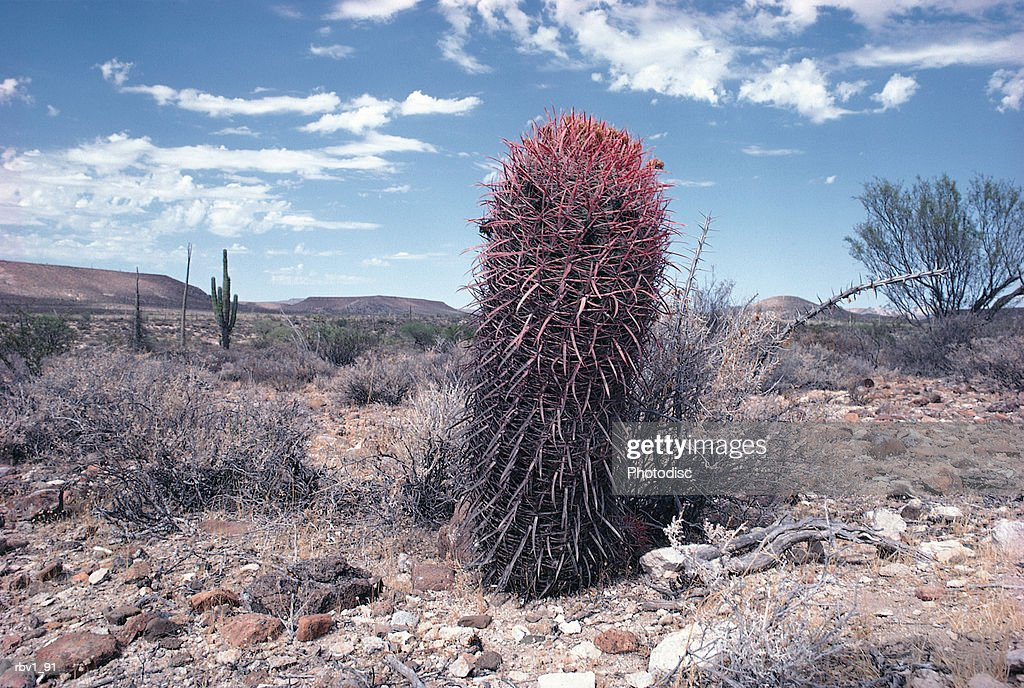 a small cactus rises from the dead and rocky ground toward the blue sky and white clouds as dead brush surrounds it : Foto de stock