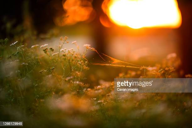 a spider making a web in an herb garden during sunset - golden hour stock pictures, royalty-free photos & images