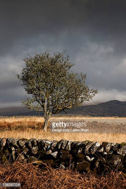 a stone fence and one tree under a dark, cloudy sky