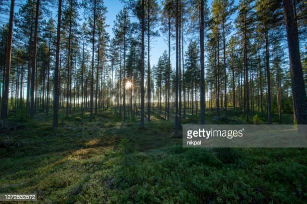 en solnedgång inne i en skog i finland med direkt sol - finland bildbanksfoton och bilder