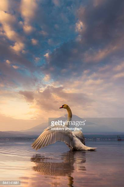 a Swan spread its wings with Mt. Fuji background