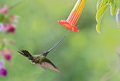 swordbill hummingbird flight at flower hummingbird