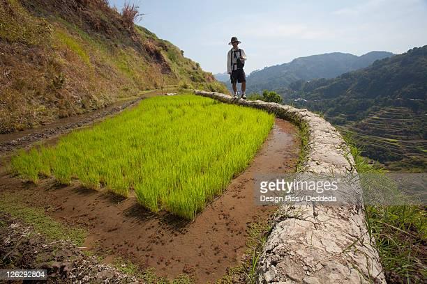 a tourist walks along the famous mud-walled rice terraces in the cordillera region near banaue
