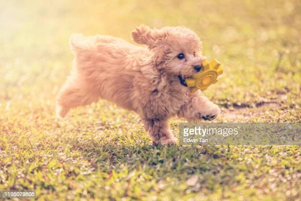 um poodle de brinquedo mordendo e buscando um brinquedo de borracha macia e correndo em parque público - poodle - fotografias e filmes do acervo
