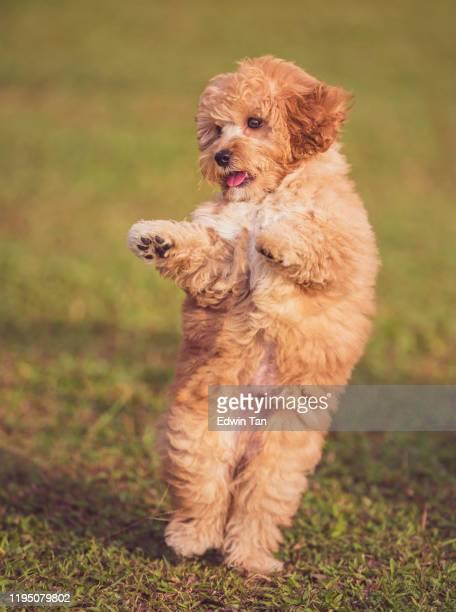 2フィートの公共公園の芝生の上で踊るおもちゃのプードルの子犬 - 動物芸 ストックフォトと画像